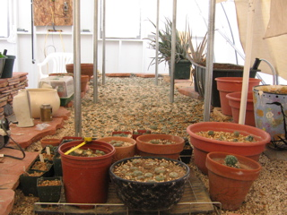 peyote growing in greenhouse